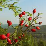 Baies roses : utilisation, recettes et vertus